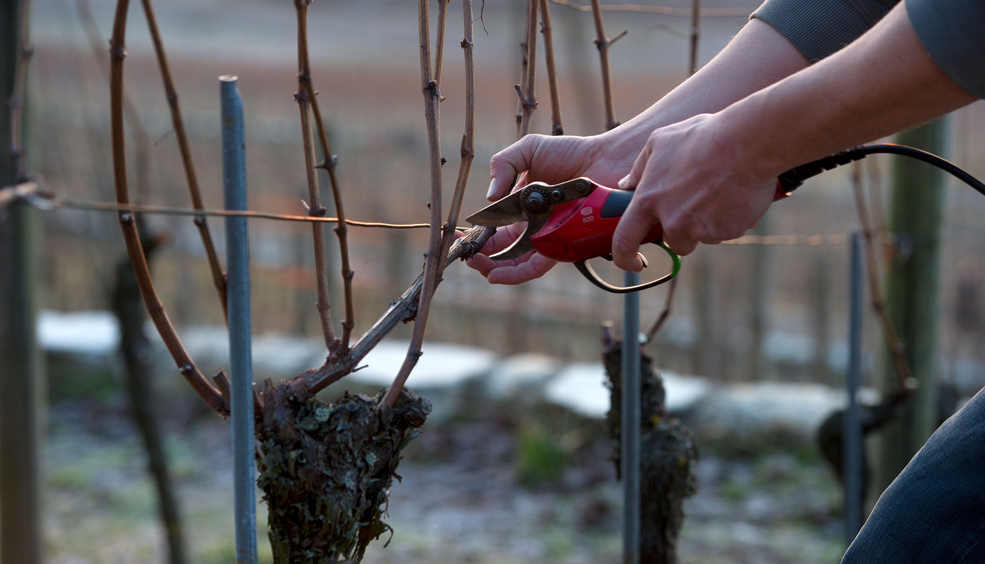 Die Reben werden zurück geschnitten und vorbereitet auf den Frühling